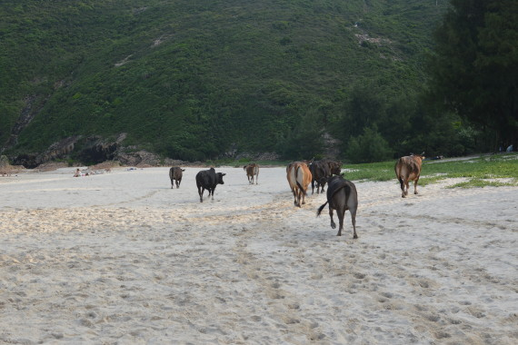 Cows on the beach in Hong Kong