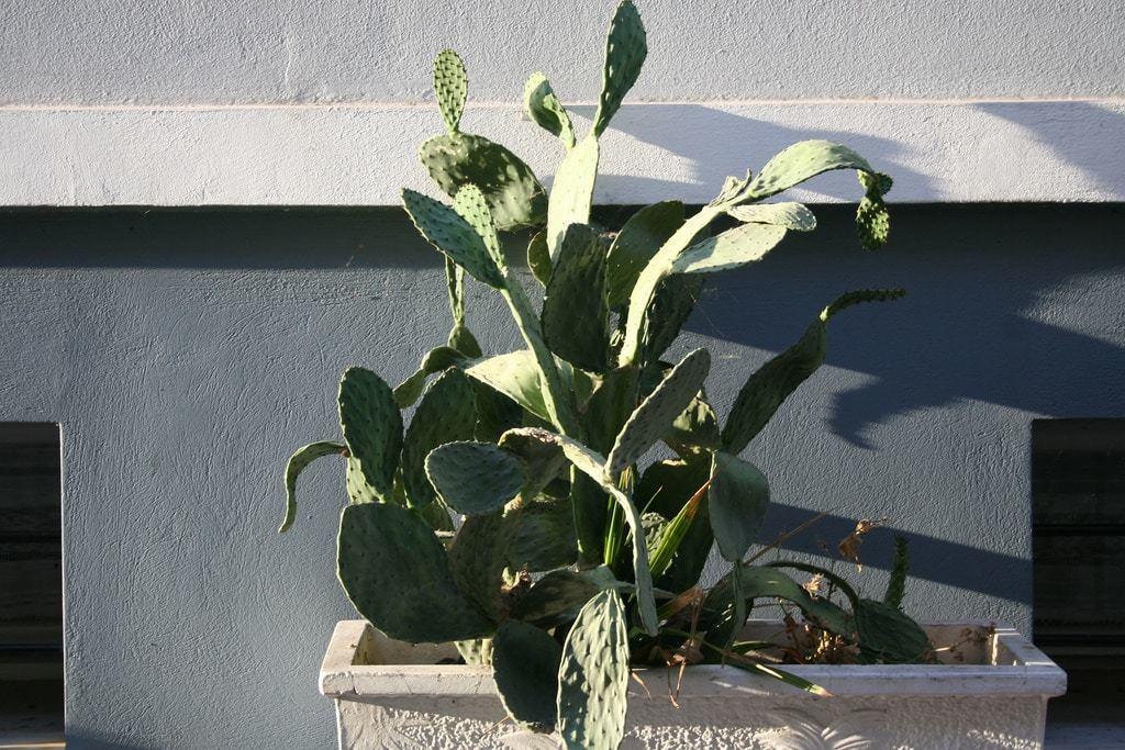 Anafiotika cactus