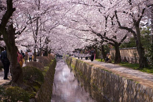 Conseils de saison des fleurs de cerisier